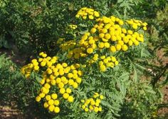 La tanaisie, un insecticide naturel et puissant !