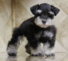 PICTURES OF COLORS OF STANDARD SCHNAUZERS