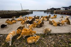 aoshima island | ... Empire: Moggies outnumber humans on Aoshima Island in Japan, in pics