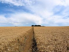 Glyphosate Used to Kill and Prepare Crops for Harvest - Cornucopia Institute
