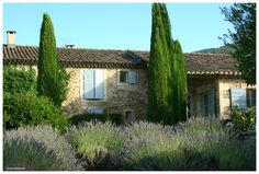 Lovely stone house with shutters, hummocks of lavender studded with spires of Cupressus sempervirens 'Pyramidalis'.