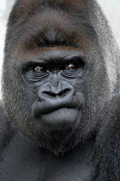 ✮ Flachlandgorilla, Gorilla Gorilla - Wow!