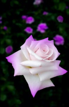 Meadow Flowers, Love Flowers, Pretty Roses, Beautiful Roses, Rosa Rose, Rainbow Roses, Rose Pictures, Hybrid Tea Roses, Passion Flower