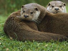 Om te voorkomen dat de otter in Nederland straks weer uitsterft, zijn we gestart met een grote actie om dit prachtige dier te redden! Help ook mee! www.natuurmonumenten.nl/otter