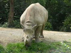 Black rhino at the St. Zoos, The St, Museums, St Louis, Funny Animals, Garden Sculpture, Places, Outdoor Decor, The Zoo