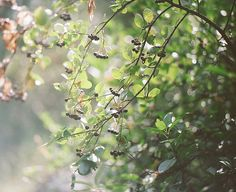 Beautiful #aronia melanocarpa pic from @cloudsfollower on flickr