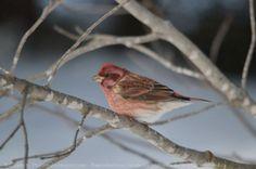 Roselin Pourpré ( oiseau )