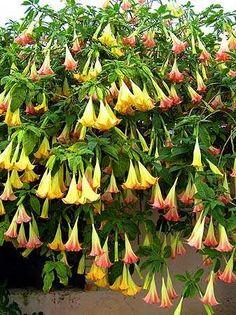 Datura Fleur Brugmansia Suaveolens FLAMENCO ANGEL/'S Trumpets 10 pieces Graines un nouveau