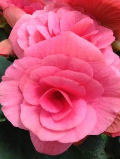 album by Mane Manee Pixie, Peeps, Album, Rose, Flowers, Plants, Beauty, Beautiful, Pink
