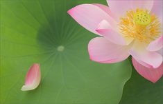 Lotus Petal | Flickr - Photo Sharing!