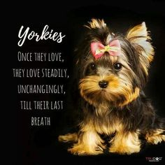 Looking for a list of great Yorkie quotes and sayings? Check out this collection of Yorkie inspired quotes and sayings with images. Yorkies, Yorkie Puppy, New Puppy, Baby Yorkie, Yorkshire Terrier Puppies, Terrier Dogs, Cute Puppies, Dogs And Puppies, Pet Dogs