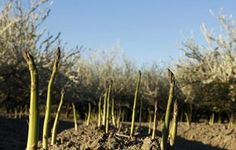 Asparagus is harvested by cutting the new shoots at ground level.