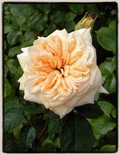 Rosa 'October Moon' (U.S., 2006)