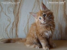 Campino of Maine Coon Castle 8,5 weeks old, 1400g