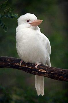 Birds ❀⊱My Bird House⊰❀Albino kookaburra Pretty Birds, Beautiful Birds, Animals Beautiful, Beautiful Things, Rare Albino Animals, Melanism, Kinds Of Birds, Australian Animals, Bird Species