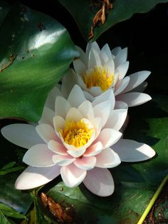 Blue lotus the blue lotus flower is related to a triumph of the lotus flowers mightylinksfo