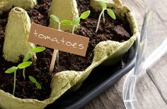 In this article, Survival Life shares how to use eggshells and egg cartons to start your seed planting. Read here to learn more about egg carton seedlings! Tomato Seedlings, Tomato Seeds, Sprouting Seeds, Planting Seeds, Mini Greenhouse, Greenhouse Ideas, Pallet Greenhouse, Homemade Greenhouse, Cheap Greenhouse