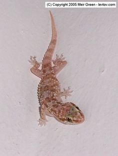 All About Gecko Lizards | Gecko Lizards - reviews and photos.