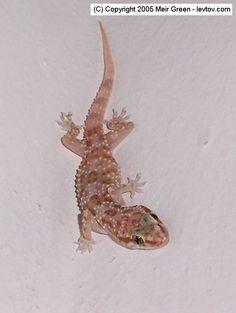 All About Gecko Lizards | Gecko Lizards - reviews and photos.