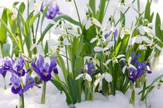 Get your landscape to burst into vivid life during the chillier months! Remember to plant a few Dwarf Irises (Iris reticulata) and Snowdrops (Galanthus) in the fall.