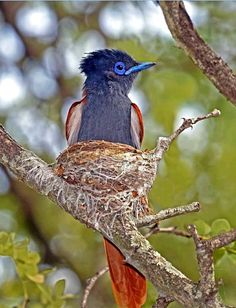 African Paradise-flycatcher (Terpsiphone viridis) in South Africa by Brian Radford. Most Beautiful Birds, Pretty Birds, Birds And The Bees, Mundo Animal, Bird Pictures, Exotic Birds, Parakeet, Fauna, Bird Feathers
