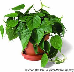 There will be plants everywhere - philodendrons, English ivy, peace lilies...if I am going to spend money ridiculously, it will be on plants.  I miss them!