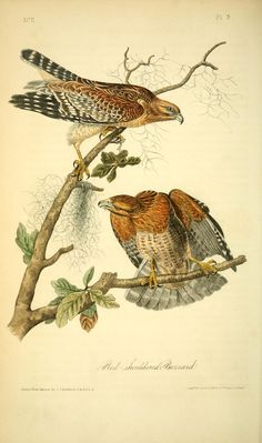 Red-Shouldered Buzzard - 1840 Volume 1: The Birds of America By John James Audubon, 1785-1851 [BHL]
