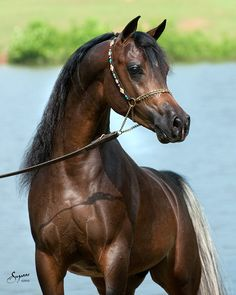 Arabians are sensitive and have excellent endurance, due to their ancestors living in the desert. by nannie Beautiful Arabian Horses, Pretty Horses, Horse Love, Beautiful Creatures, Animals Beautiful, Cute Animals, Horse Pictures, Animal Pictures, Horse Markings