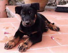 Beauceron #Dog #Puppy #Puppies