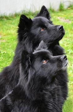 Swedish Lapphund #Puppy #Dog