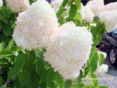 Hydrangea....in it's breath-takingly beautiful summer color..... www.majaskitchen.com