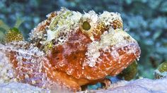 A face only a mother could love. Stone fish, member of the Scorpionfish family.