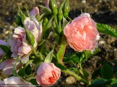 rosa peach grootendorst - Google Search