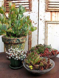 Na sua grande maioria as suculentas, cactos e rosas do deserto, são cultivadas em vasos no estilo bacia, mas você sabe por isso acontece? Isso acontece por que estas espécies não necessitam de muito espaço para suas raízes e não exigem grande quantidade de substrato para se desenvolverem bem