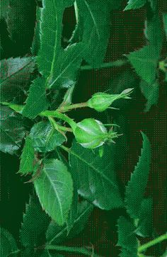 gif showing a rose bud blooming. Romantic Gif, Romantic Images, Flowers Gif, Pretty Flowers, Roses Gif, Flower Images, Flower Photos, Gifs Lindos, Preserved Roses