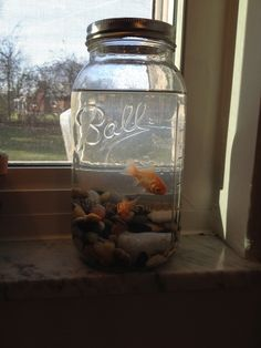As of Today these cute little Goldfish Won by my children on 8/6/13 are still alive in this Half Gallon Mason Jar! When first pinned the jar idea I received rude comments stating that was harming the goldfish... News Flash almost 4 months later Compy and Dorothy Still living Wonder lives!