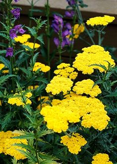 Yarrow: Light: Sun Zones: 3-10 Plant Type: Perennial Plant Height: 6-60 inches tall Plant Width: 18-36 inches wide Flower Color: Red, yellow, gold, pink, or white flowers, depending on variety Bloom Time: Blooms spring, summer, and fall depending on variety