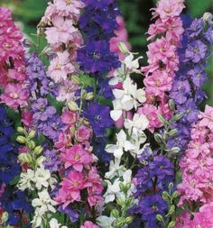 Larkspur Giant Imperial Mixed