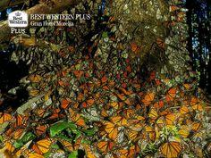 EL MEJOR HOTEL DE MORELIA. Las tierras de Michoacán cuentan con diversos recursos naturales, uno de los más importantes es su riqueza forestal; como los bosques de oyamel que cada año reciben a miles de mariposas monarcas. En Best Western Plus Morelia, le invitamos a disfrutar de este espectáculo único en el país. Recuerde hacer su reservación con nosotros en su próxima visita a nuestro bello estado. http://www.bestwesternplusmorelia.com.mx