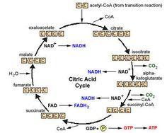 Citric Acid Cycle-- aerobic metabolism