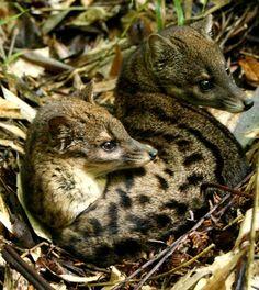 Malagasy civet (Fossa Fossana)