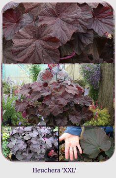 XXL Coral Bells, Heuchera, Garden Inspiration, Perennials, Heaven, Green, Flowers, Plants, Color