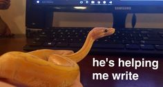 akihiko banana pinstripe ball python snek noodle good snek. he's doing such a good job