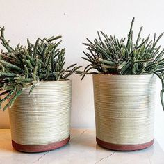 Mini Rat Tail Aporocactus in local hand made ceramic by Rat Tail Cactus, Mount Pleasant, Art Object, Buy Art, Planter Pots, Objects, Bloom, Ceramics, Gallery