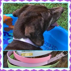 Tess is putting her new water proof and stink free collar to the test. I'm very pleased with it! http://www.kippyandco.com/products/waterproof-pastel-dog-collar