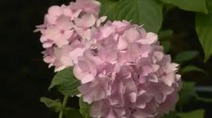 pale pink hydrangea - Google Search