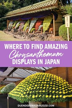 See Japan's amazing autumnal festal of chrysanthemums, the country's national flower. Chrysanthemums, Growing Flowers, Fall Flowers, Autumnal, Asia Travel, Cherry Blossom, Pergola, Bloom, Outdoor Structures