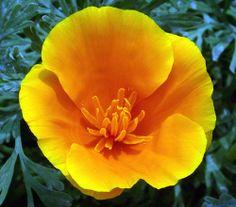 California State Flower - Yellow Poppy