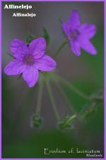 Flora silvestre de LanzaroteI