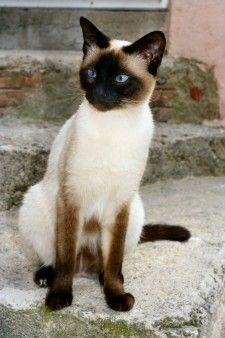 Our Siamese Cats at Shower Time Siamese Kittens, Kittens Cutest, Cats And Kittens, Big Cats, Pretty Cats, Beautiful Cats, Animals Beautiful, I Love Cats, Crazy Cats